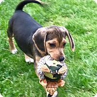 Adopt A Pet :: Thorton (RBF) - Spring Valley, NY