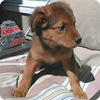 Golden Retriever/Shepherd (Unknown Type) Mix Puppy for adoption in Brattleboro, Vermont - Serena 💖 ADOPTED!