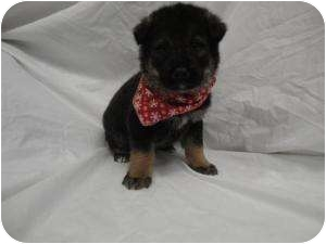 Labrador Retriever Mix Puppy for adoption in Spruce Pine, North Carolina - Prancer