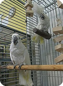 Cockatoo for adoption in Edgerton, Wisconsin - BooBoo & Sweetie