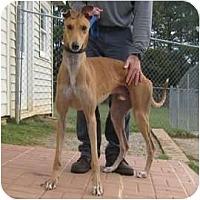 Adopt A Pet :: Ed - Oak Ridge, NC