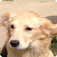 Adopt A Pet :: Jenni - New Canaan, CT