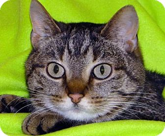 Domestic Shorthair Cat for adoption in Renfrew, Pennsylvania - Lily