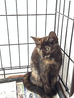 Domestic Shorthair Kitten for adoption in Tampa, Florida - Spice
