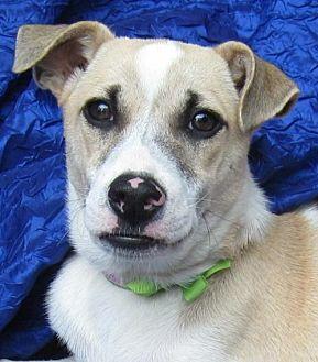Greyhound/Terrier (Unknown Type, Medium) Mix Dog for adoption in Cuba, New York - Anastasia Paladino