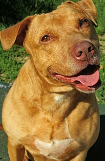 Pit Bull Terrier Mix Dog for adoption in West Babylon, New York - Lindsy