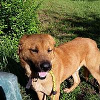 Black Mouth Cur/Labrador Retriever Mix Dog for adoption in Jefferson, Texas - Rusty