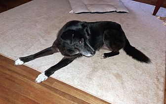 Border Collie/Labrador Retriever Mix Dog for adoption in Columbus, Ohio - Sissy