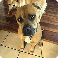 Adopt A Pet :: Kapone - Yuba City, CA