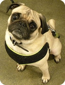 Pug Dog for adoption in Farmington, Michigan - Carson