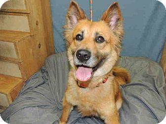 German Shepherd Dog/Border Collie Mix Dog for adoption in Lacombe, Louisiana - CALLIE