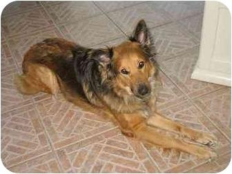 Australian Shepherd Mix Dog for adoption in Orlando, Florida - Brandi
