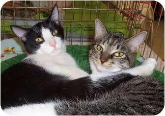 Domestic Shorthair Cat for adoption in Orlando, Florida - Loki