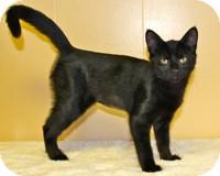 Domestic Shorthair Kitten for adoption in Atlanta, Georgia - Hermes