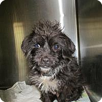 Adopt A Pet :: Arya - Shawnee Mission, KS