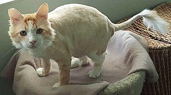 Domestic Longhair Cat for adoption in Pasadena, California - Oskar
