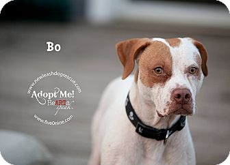 American Bulldog/Hound (Unknown Type) Mix Dog for adoption in La Crosse, Wisconsin - Bo