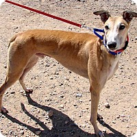 Adopt A Pet :: Gator - Tucson, AZ