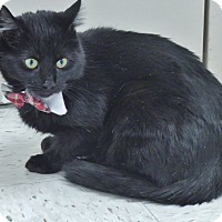 Domestic Shorthair Cat for adoption in Chambersburg, Pennsylvania - Cole