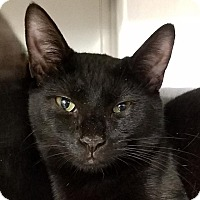 Adopt A Pet :: Moonshadow - New York, NY