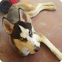 Adopt A Pet :: Blue - Clearwater, FL