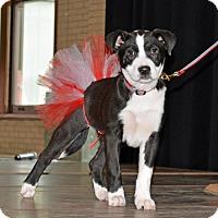 Adopt A Pet :: Oreo - Brooklyn Center, MN