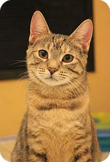Domestic Shorthair Kitten for adoption in Carlisle, Pennsylvania - Cressida