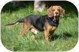 Beagle Dog for adoption in Portland, Oregon - Charlie Brown