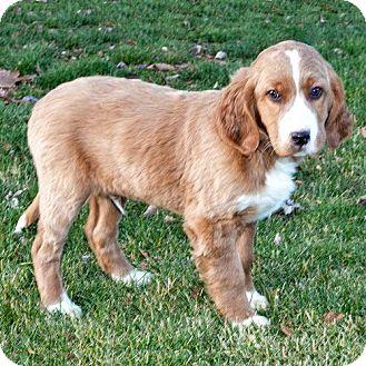 Golden Retriever Dogs For Adoption In Michigan