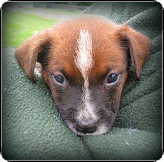 Boxer/Blue Heeler Mix Puppy for adoption in Indianapolis, Indiana - Frankie