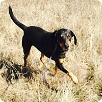 Doberman Pinscher/Coonhound (Unknown Type) Mix Dog for adoption in Quinlan, Texas - Buddy