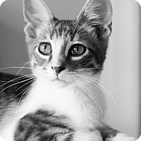 Adopt A Pet :: Buzz - Chicago, IL