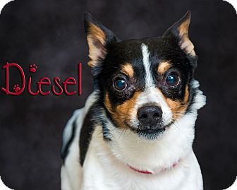 Jack Russell Terrier Mix Dog for adoption in Somerset, Pennsylvania - Diesel