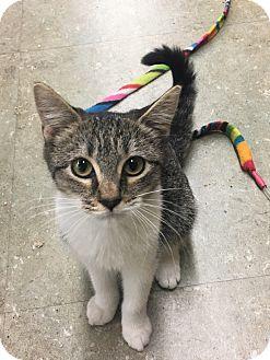 Domestic Shorthair Kitten for adoption in Astoria, New York - Thelma