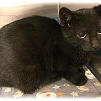Domestic Shorthair Kitten for adoption in Herndon, Virginia - Tank (& Katara)