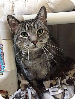 Domestic Shorthair Cat for adoption in Colorado Springs, Colorado - Mungie