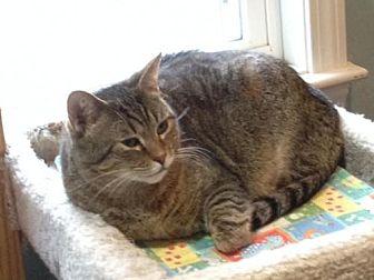 Domestic Shorthair Cat for adoption in Ashland, Massachusetts - Sweetie (2)
