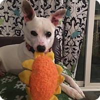 Adopt A Pet :: Boss - Portland, ME