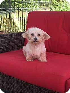 Maltese/Poodle (Miniature) Mix Dog for adoption in Barrington, Rhode Island - Pearl Jam