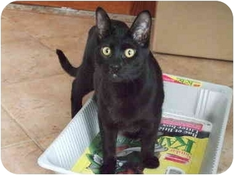 Bombay Cat for adoption in Montreal, Quebec - Spot