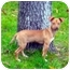 Photo 4 - Chihuahua/Dachshund Mix Puppy for adoption in Conroe, Texas - Jake