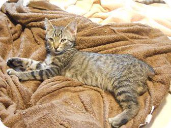 Domestic Shorthair Kitten for adoption in St. Louis, Missouri - Royce