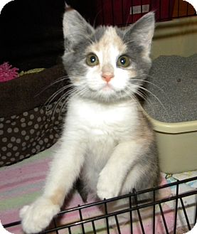 Calico Kitten for adoption in Stafford, Virginia - Fiona