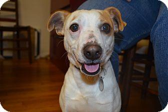 Jack Russell Terrier/Rat Terrier Mix Dog for adoption in Marietta, Georgia - Harry