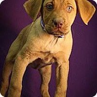 Adopt A Pet :: Tizzy - Broomfield, CO