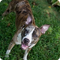 Adopt A Pet :: Miracle - Reisterstown, MD