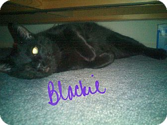 Domestic Shorthair Cat for adoption in New York, New York - Blackie