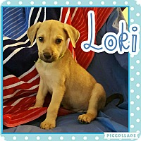 Adopt A Pet :: Loki - Scottsdale, AZ