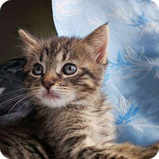 Domestic Shorthair Kitten for adoption in Kirkland, Washington - Abby