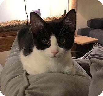 Domestic Shorthair Kitten for adoption in Plainville, Connecticut - Lourdes